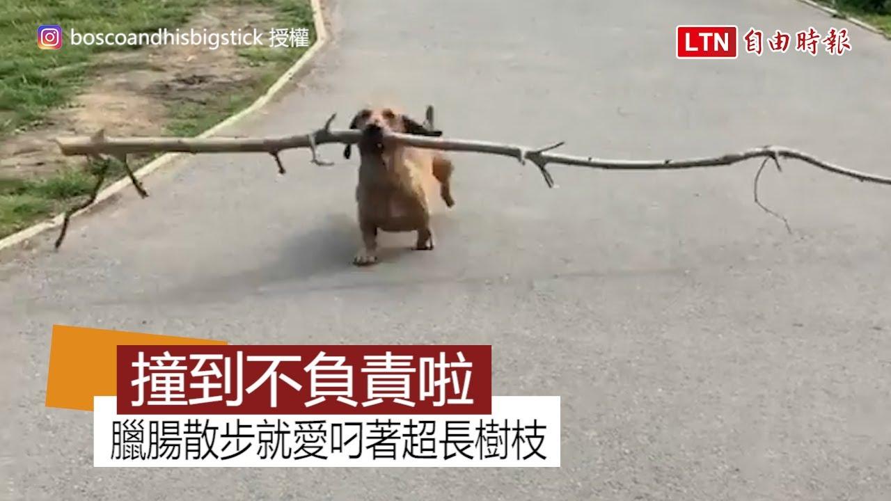臘腸叼超長樹枝「霸道」散步 想跟牠玩「你丟我撿」有難度