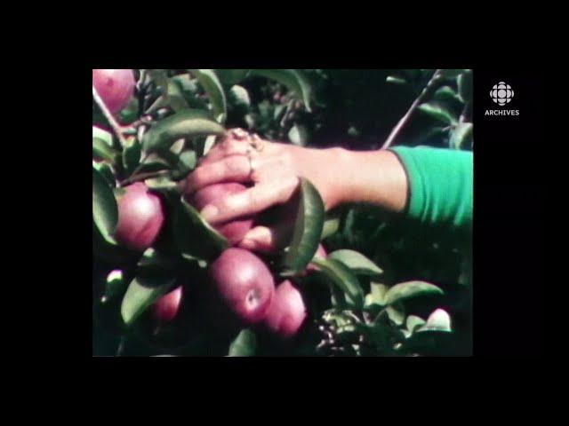 La tradition de l'autocueillette des pommes au Québec