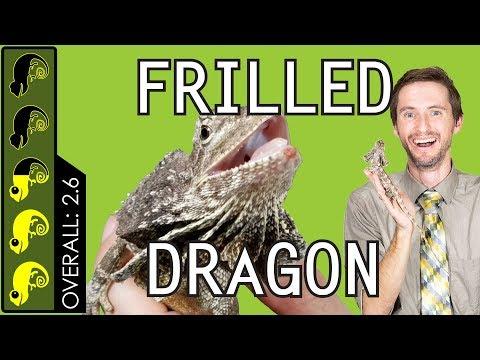 Frilled Dragon, The Best Pet Lizard?