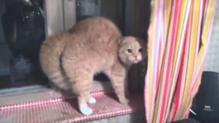 Рыжий кот заговорил от испуга прикол