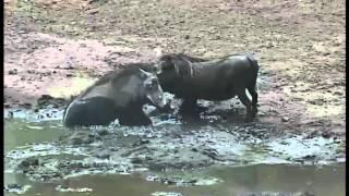 Guźdźce - zwierzęta Afryki