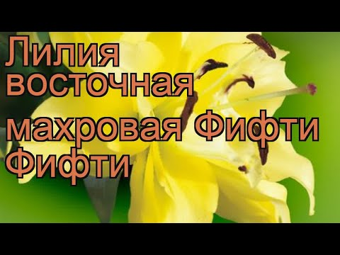 Лилия восточная махровая Фифти Фифти 🌿 обзор: как сажать, луковицы лилии Фифти Фифти