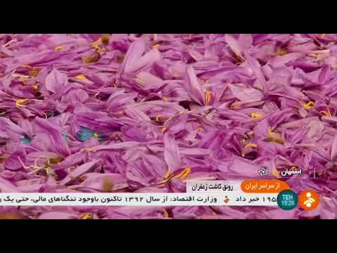 Iran Organic Saffron harvest, Isfahan province برداشت زعفران استان اصفهان ايران