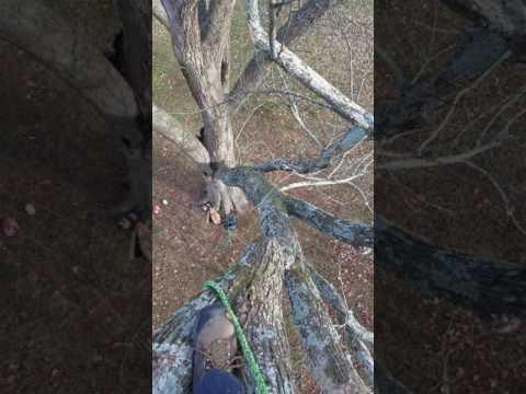 American Elm Arborist Nashville Climb