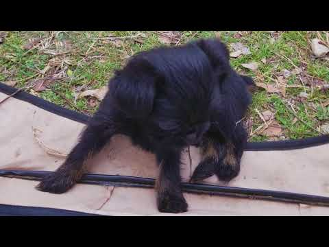 Black And Tan Brussels Griffon puppy for sale in Texas