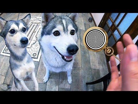 дрессировка собак ЭТО ЛЕГКО / команды для щенка и хаски