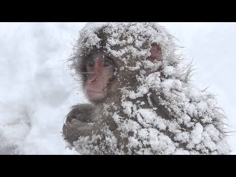 "【SNOW MONKEY】ニホンザル ☆Great Natures 3 ☆ This is the ""Snow Monkey""  地獄谷野猿公苑"