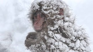 "【SNOW MONKEY】 ☆This is the ""Snow Monkey""☆ ニホンザル / 地獄谷野猿公苑"