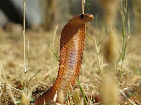 Daredevil Omani photographer shoots video of elusive Arabian Cobra