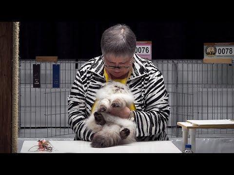 CFA International Cat Show 2017 - Himalayan Persian kitten