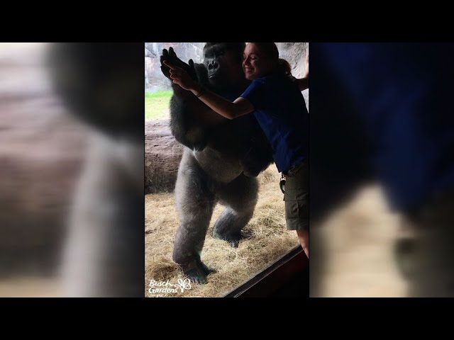 Gorilla Shows Off Moves at Busch Gardens Park