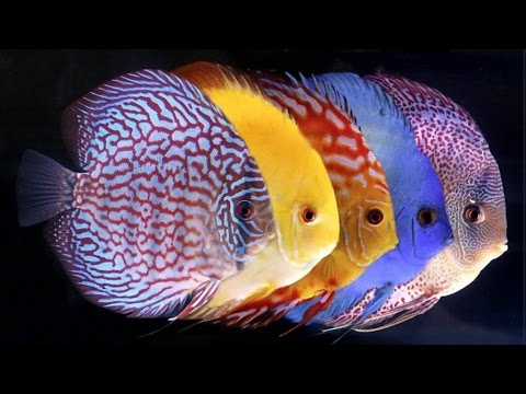 Youtube for Pesce discus
