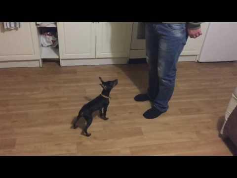 Дрессировка щенка Цвергпинчера
