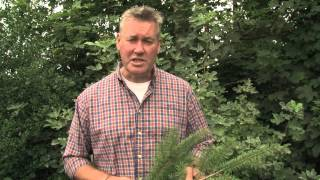 Identifying Douglas Fir