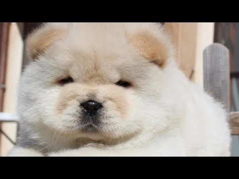Cute Chow Chow - Chow Chow Puppy - Chow Chow - Chow Chow Dogs compilation #3