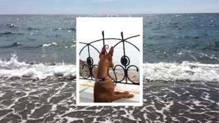 Dom Pharaon. Презентация питомника Фараоновых собак.