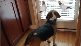 beagle-tells-doves-to-get-off-my-lawn
