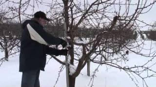 Pruning Gisela Cherry - pendant wood