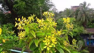 Bagladeshi flower-sonalu
