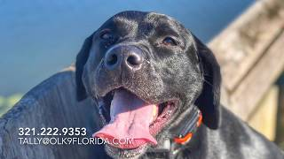 "2 Year Old Black Lab ""Lola"" 