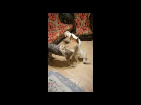 Borzoi & Czechoslovakian wolfdog