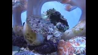 Cuttlefish Eating Crabs | California Academy of Sciences