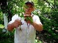 Посадка помидор под лом Как посадить переросшую рассаду mp3