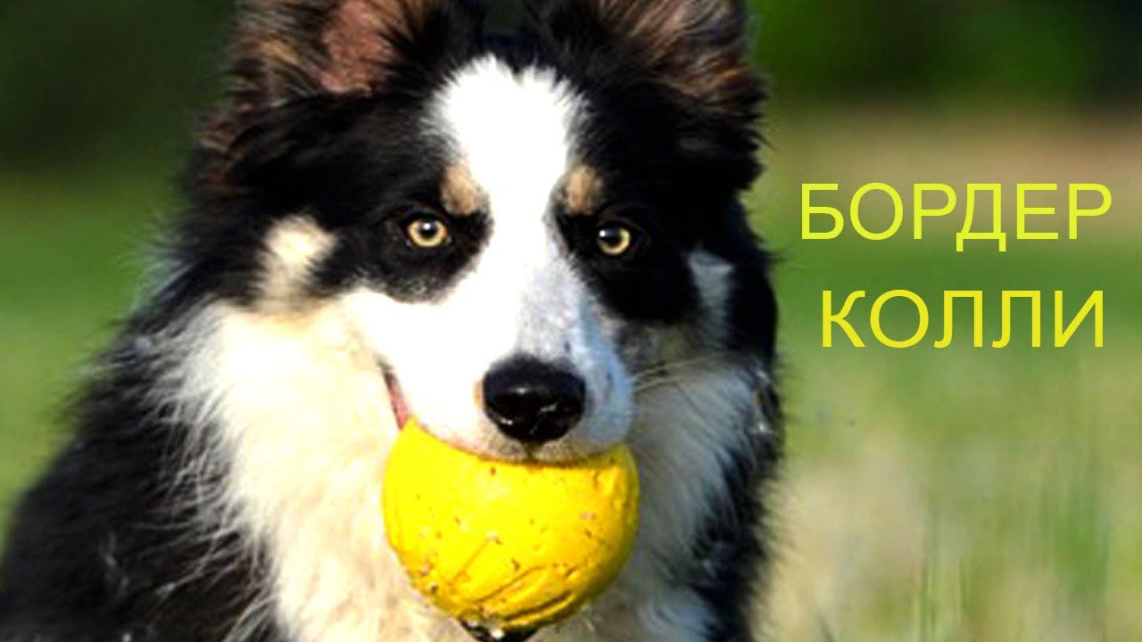 картинки собак породы бордер колли