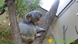コアラって鳴くの? どんな鳴き方をするの? そんな疑問にお答えします!