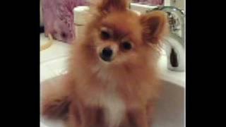 Pomeranian Photos!