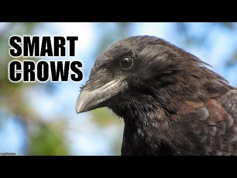 Smart Crows  (Mini Documentary)