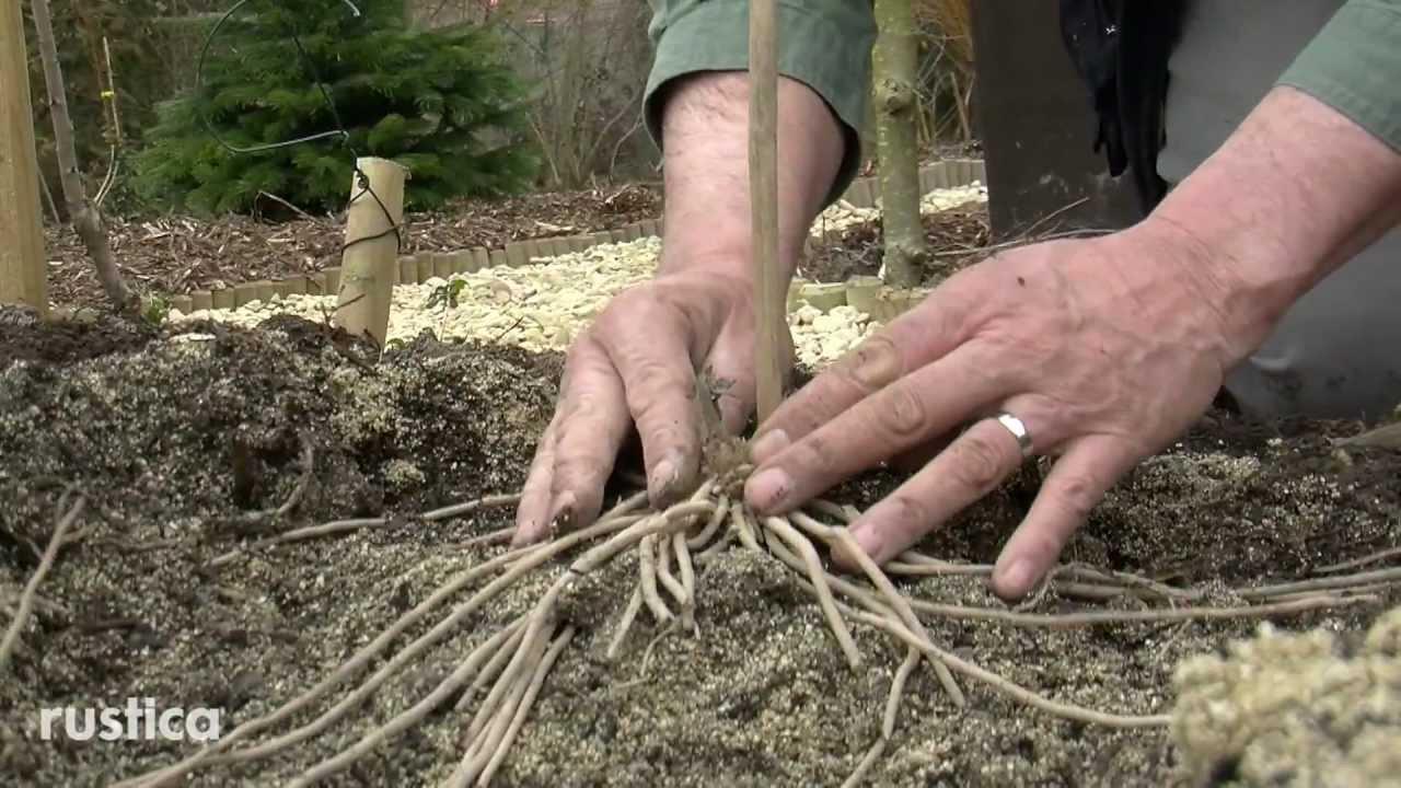 Comment Planter Des Asperges installer une aspergeraie