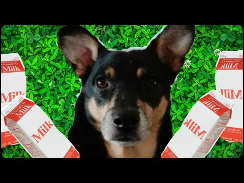 Happy #NationalPuppyDay Max the Australian Kelpie Dog Drinks Milk