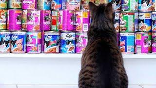 Британский Кот Пробует Дорогой и Дешевый Корм(какой корм выберет кот???)