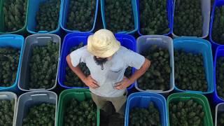 Small Farmer, Drying Hemp or Cannabis Bud Flower