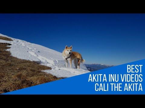Playful Akita Inu Winter hike