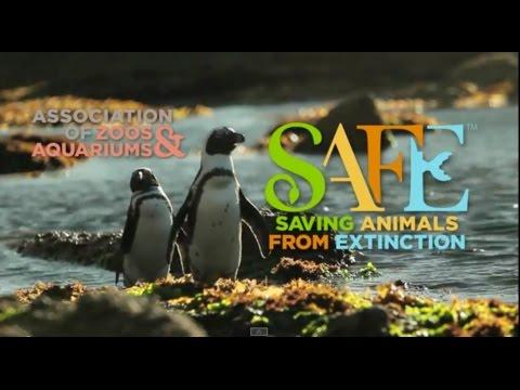 AZA SAFE African Penguin Documentary HD