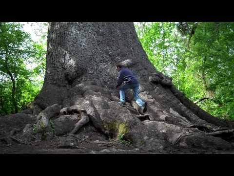 Biggest sitka spruce tree in the world