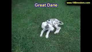 Great Dane, Puppies, For, Sale, In, Lexington, County, Kentucky, Ky, Bowling Green, Owensboro, Covin