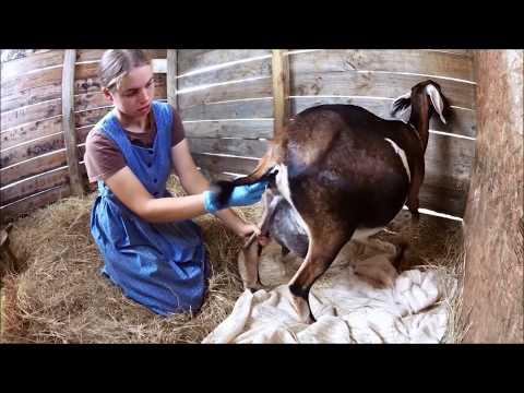 Goat Care Pt. 3:  Labor & Kidding