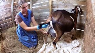 Repeat youtube video Goat Care Pt. 3:  Labor & Kidding