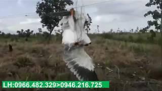 Chim Săn Mồi Cực khủng Dính Lưới
