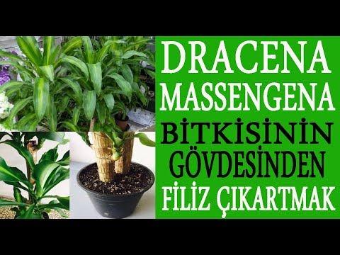 Dracena Massengena bitkisinden filiz çıkartmak. Masengena çiçekelerinden yeni filizler çıkarma