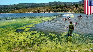Harmful algae: Blue-green algae blooms pose health hazards in contaminated waterways - TomoNews