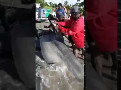 1000 Pound Hammer Head Shark Caught in Trinidad