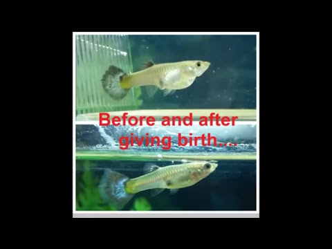 How To Know When Guppy Will Give Birth Female Guppy