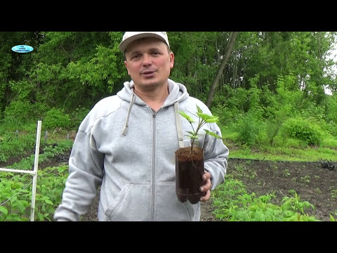 Как размножить малину летом видео