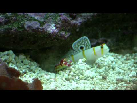 randall's goby and pistol shrimp in high def