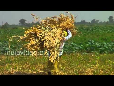 Maize field in Zainabad Village, Gujarat