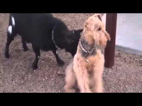 kambing ma anjing goyang